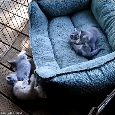 Animated Cat GIF • Playtime! 5 crazy Kittens playing together making a funny mess. Fighting hard, running, pouncing, jumping everywhere and anywhere, they mad!