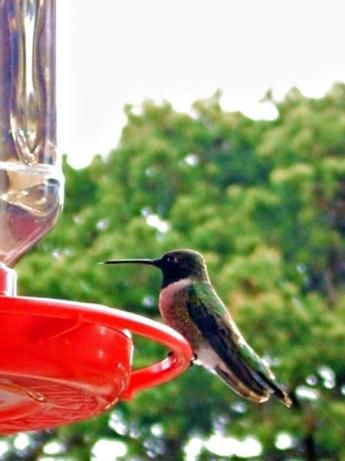 "Hummingbird Food: ""The hummingbirds come to my feeder much more frequently with this recipe than they did when I used a store bought mix. I was afraid 'my birds' wouldn't find the clear food. Not to worry - they love it!"" -Julie F."