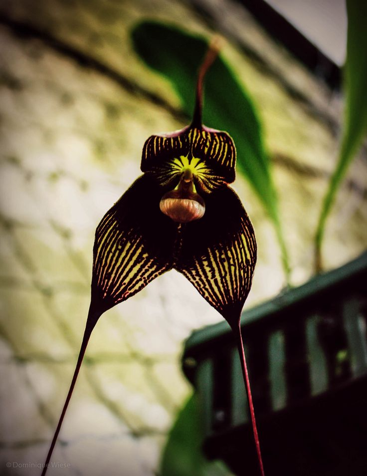One species of the Dracula Orchid found at Dracula's Orchid Farm in Volcan, Panama