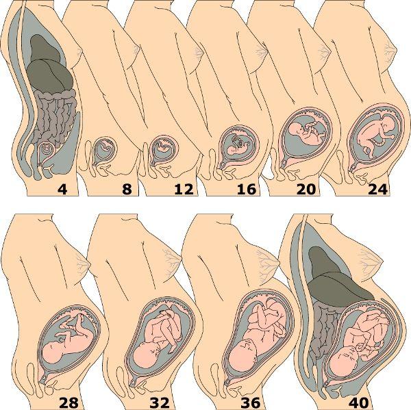 ¿Cómo podemos saber de cuánto meses estamos embarazadas con calculadora de semanas de embarazo a meses? Para saber el embarazo al mes y como calcular las etapas, continúa leyendo el artículo que te responderá a tus dudas. http://detodosobrelamujer.com/como-utilizar-la-calculadora-de-semanas-de-embarazo-a-meses/
