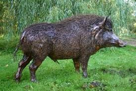 Kentucky wild boar – hog hunting is a popular sport in many parts of the United States including feral pigs as well. The wild boar – hog {feral pigs} can have tusk as long as nine inches in length, which makes it a prized trophy for the hunter.