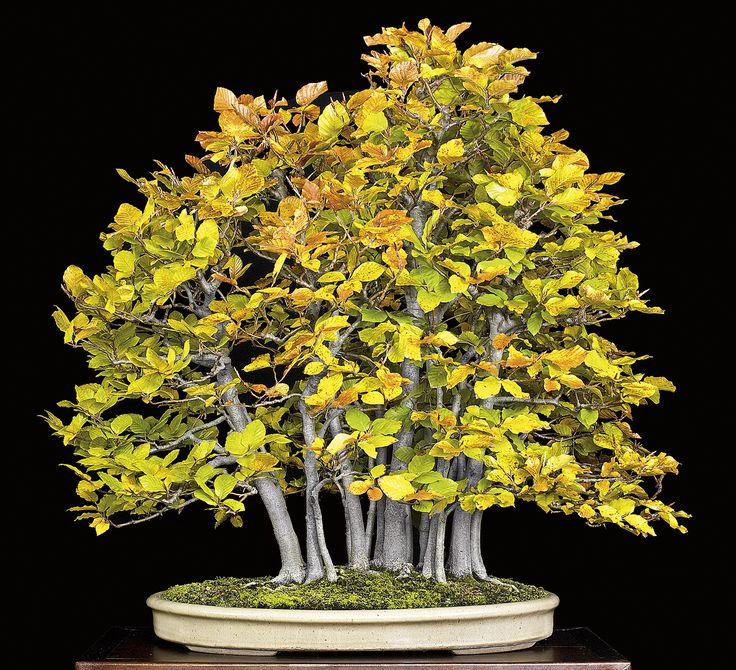 Fagus sylvatica bonsai