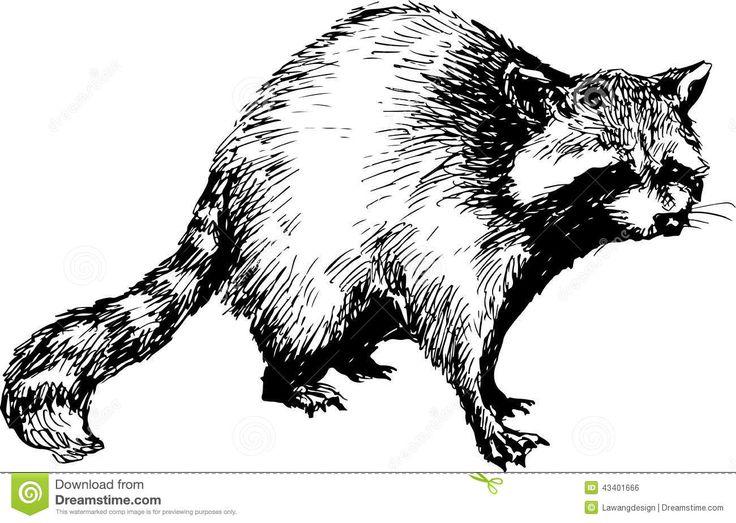 Line Drawing Raccoon : Best raccoons drawings and paintings of