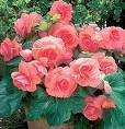Begonias. There are three types of Begonias: Tuberous, Semperflorens, and Rex. The Semperflorens are by far the most common. They include Fibrous Begonias, Wax Begonias and Everblooming Begonias. Depending upon type, you can find red, white, pink, or yellow varieties. All flowers have a bright yellow eye (center). All varieties will grow compact, dense foliage, and grow about 6-12 inches tall. They like rich, loose and fertile soil, which drains well. Water thoroughly, then allow the soil to…