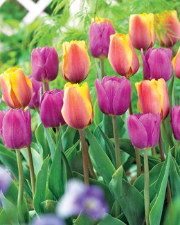 Picture Perfect Blend Perennial Tulip Certified 30 Seeds #021 Item UPC#637632549661