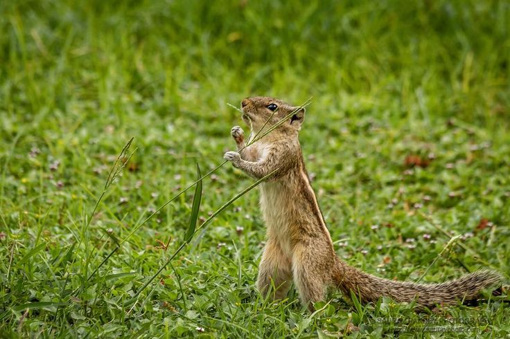 Stop and smell the grass! :-) Prints at http://ift.tt/2iR6hOS #animal #garden #feeding #garden #grass #lawn #outdoor #outdoors #outside #squirrel #wildlife #smell #canon600d #sauravphoto