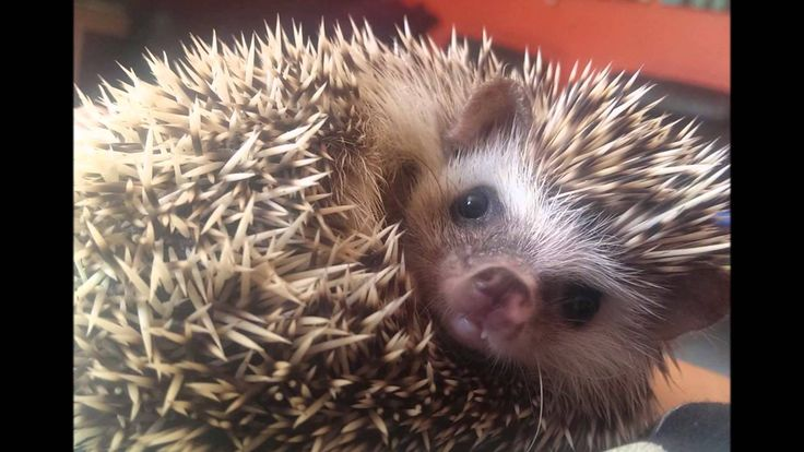 African Pygmy Hedgehogs For Sale