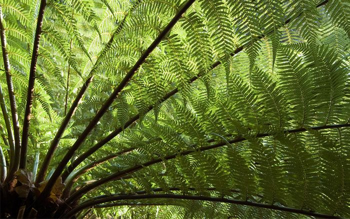 dicksonia-tree-fern-tropical-plants