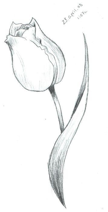Tulip Sketch by ScarletRainxX on deviantART