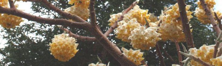 Plant Profile: Edgeworthia chrysantha | Article by Plant Delights Nursery