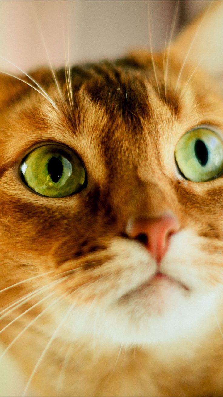 Orange cat, face, green eyes