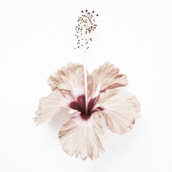 Blush (Hibiscus Rosa-Sinensis Cultivars from Cherating, Malaysia) | What I See When I Run - Botanical Portraits