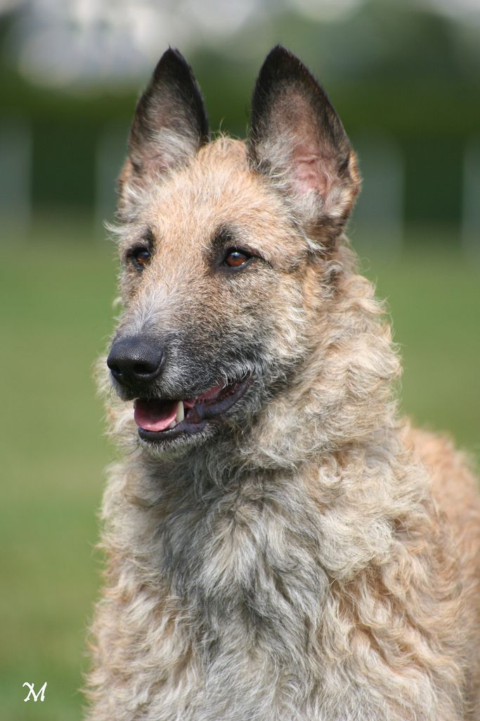 36 best Laekenois images on Pinterest | Belgian shepherd ...