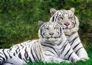 White Tigers at Sunderbans National Park