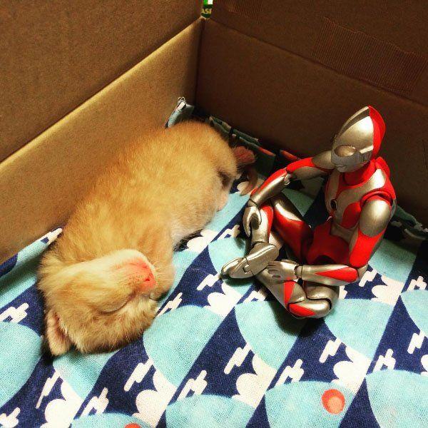 ウルトラマンが見守る赤ちゃんネコの成長記録