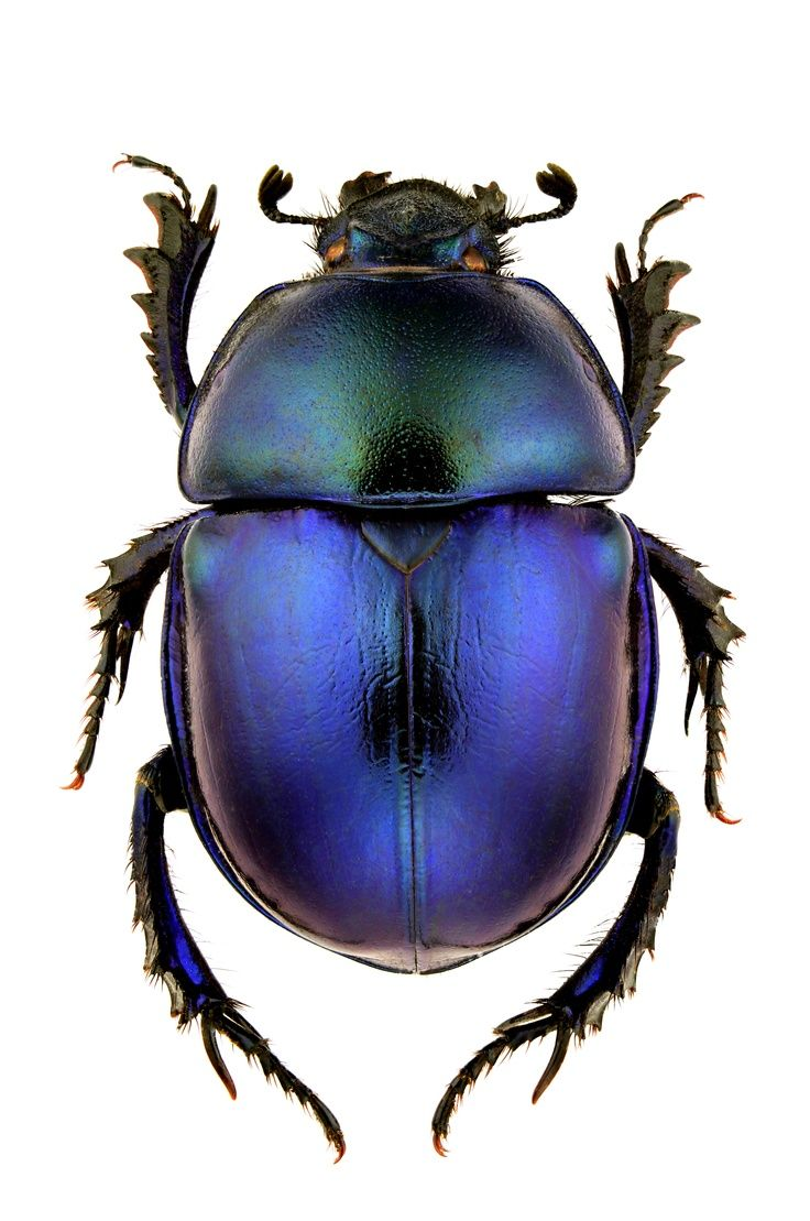 Dung beetle// www.lab333.com www.facebook.com/pages/LAB-STYLE ...