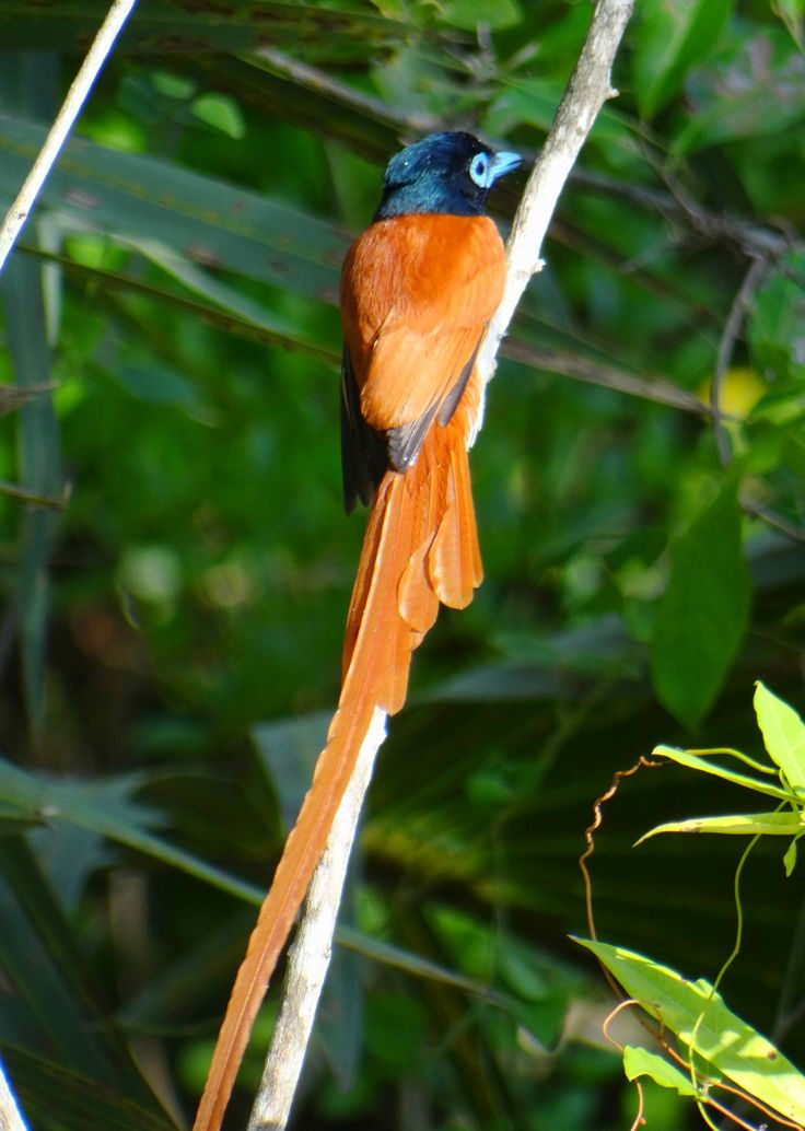 The African Paradise Flycatcher - what a beauty. Usually you only see a trail of red entering into the thick bushes and leaving you behind wondering what you have just seen...