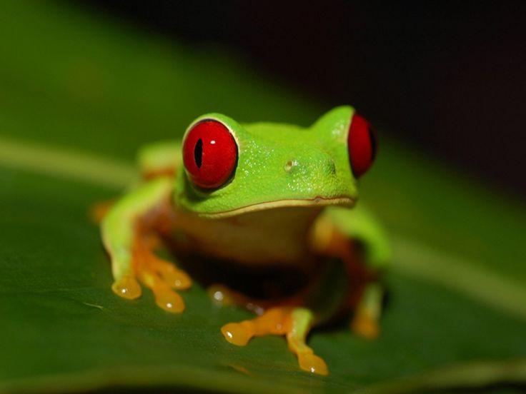 katak hijau yang langka Hewan Wallpaper dalam resolusi tinggi
