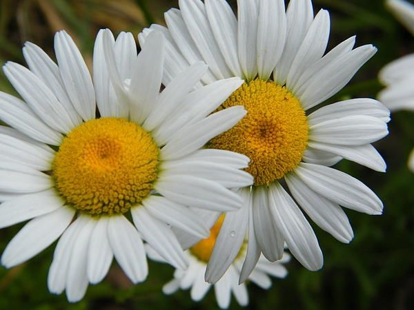 The Daisies Are Watching You
