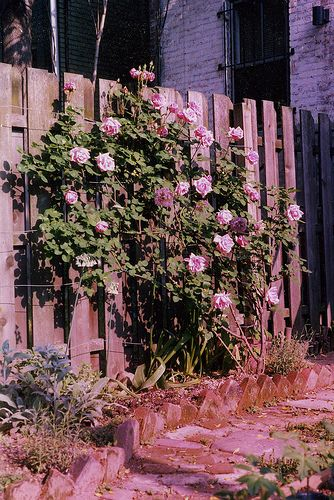 Grow a Rose Bush from a Single Stem or Cutting - Gross