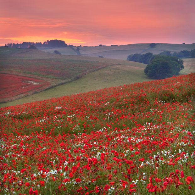 Poppy Field - Dorset, Britain