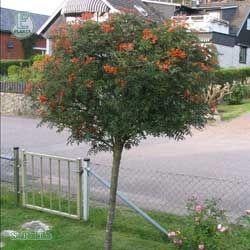 Carmencitarönn eller Japansk rönn  Småvuxet buskformigt mindre träd med kompakt växtsätt. Mörkgrönt sirligt bladverk, röda bladskaft och 3-4 mm runda, glänsande lackröda frukter. Höstfärger i olika rostbruna nyanser framhäver frukterna. E-merit: växtsätt, höstfärg och den röda fruktfärgen.   Ett utmärkt träd för den lilla villaträdgården!