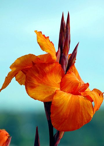 Canna Lily..I have these growing under a palm.  They are so beautiful and hardy!