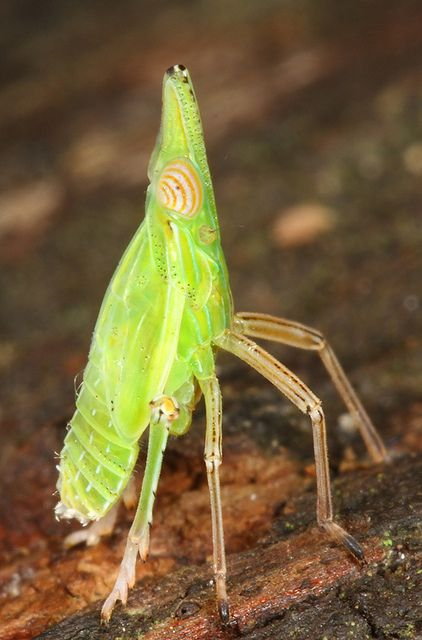Planthopper  by eddy lee (Named Julia because of the song by John Lennon)  Notice the SEASHELL EYES.