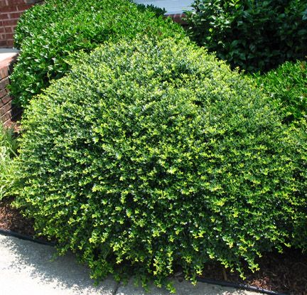 Best evergreen garden ideas on pinterest for Low maintenance foundation shrubs