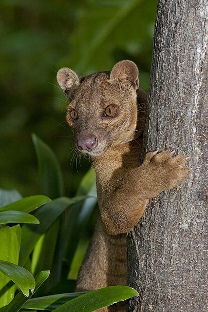 Fossas are the largest carnivorous mammals on the island of Madagascar. A relative of the mongoose, the fossa is unique to the forests of Madagascar, an African island in the Indian Ocean. Growing up to 6 feet (1.8 meters) long from nose to tail tip, and weighing up to 26 pounds (12 kilograms), the fossa is a slender-bodied catlike creature with little resemblance to its mongoose cousins.