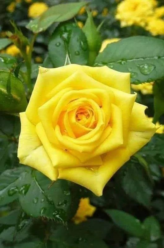 Https Www Facebook Com Lovebeautifulrose Photos A 554635821413937 978116002399248 Type 3 Theater With Images Yellow Roses Yellow Flowers Rose Flower