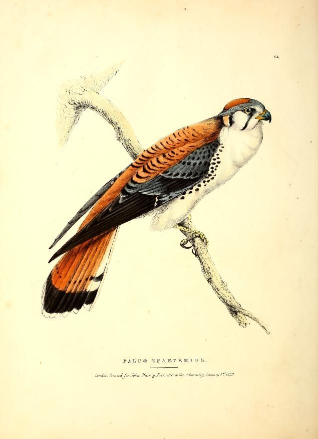 Falco sparverius. Fauna boreali-americana, or, The zoology of the northern parts of British America pt. 2 London :John Murray,1829-1837. Biodiversitylibrary. Biodivlibrary. BHL. Biodiversity Heritage Library