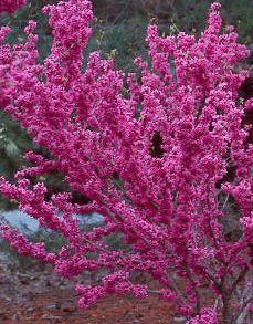 arbre de judée chinensis - Ce petit arbre ou plus généralement, ce grand arbuste caduc a un port arbustif et dressé. Assez rustique, il apprécie les sols fertiles, légers, drainés ou même calcaire à exposition ensoleillée