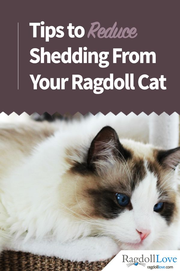 A Ragdoll Coat Quick Guide For The Ragdoll Cat Owner Ragdoll Cat Cat Care Ragdoll Cat Breed