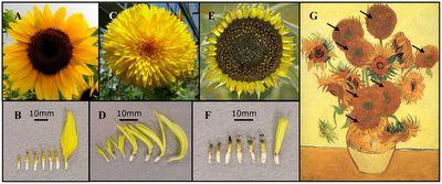 El blog de Hydre Lana: Mutación genética en los Girasoles de Van Gogh