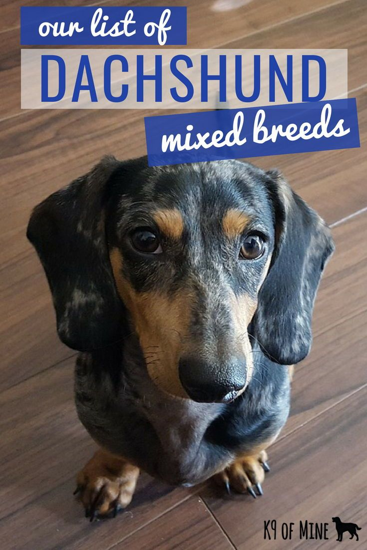 16 Awesome Dachshund Mixes Wacky Weiners For The Win Dachshund