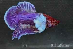 Ikan Cupang Big Ear Lavender BE5. Jenis plakat big ear, warna dominan ungu, Size M, kondisi ikan sehat, body proporsional, mental berani, warna sisik mengkilap, betuk keseluruhan mewah. #ikan #cupang #bigear #ikancupang #bettafish