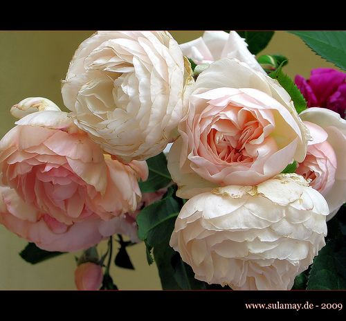 English tea roses   Soft, Romantic, and Full