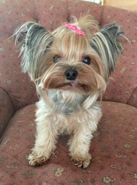 Daisy Is An Adoptable Yorkshire Terrier Yorkie Searching For A