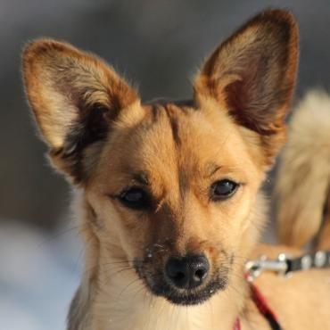 Hund, Welsh-Corgie-Mischling (Mischling, Hündin, 1 Jahr) in Vilseck/Bayern