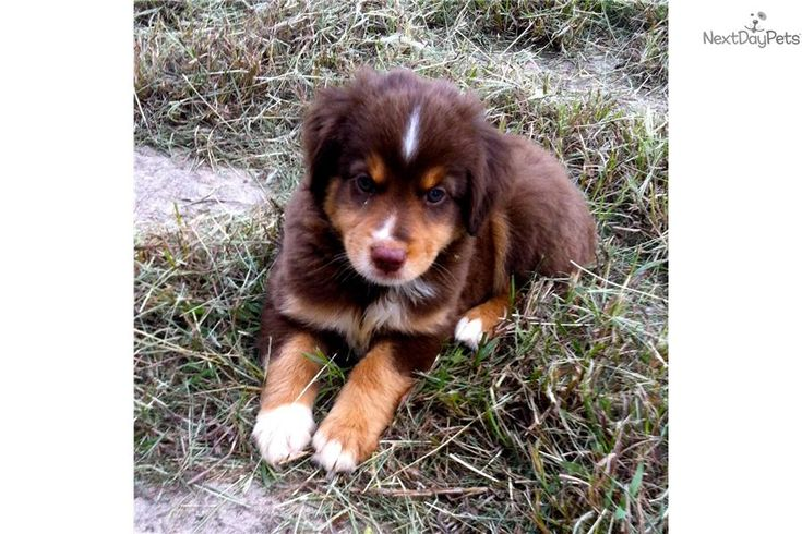 Meet Hershey a cute Miniature Australian Shepherd puppy for sale for $800. Hershey - Red Tri Miniature Aussie