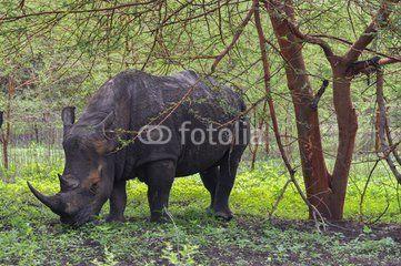 Rhinocéros Noir d'Afrique - Réserve de Bandia (Img.0536)