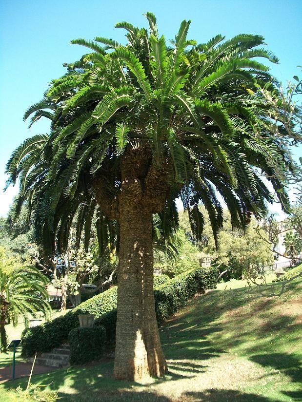 Large original stem of Encephalartos woodii - Durban Botanic Gardens ...