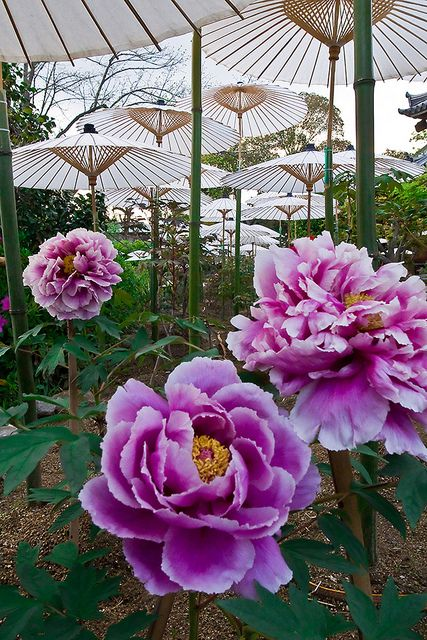 Garden of peony in Kyoto Otokuni temple, JapanBeautiful Flower, Kyoto Otokuni, Peonies Gardens, Flower 5Th, Flower Gardens, Japan Peonies, Otokuni Temples, Flowers, God Flower