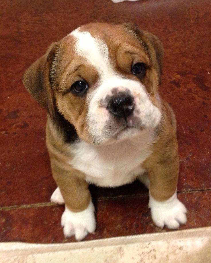 1/4 Beagle, 3/4 Bulldog! Beabull Bull! My precious Buster!