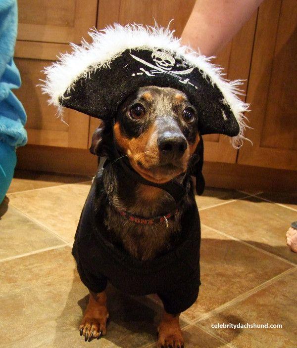 superdog photo contest dachshund halloween costumes dachshund