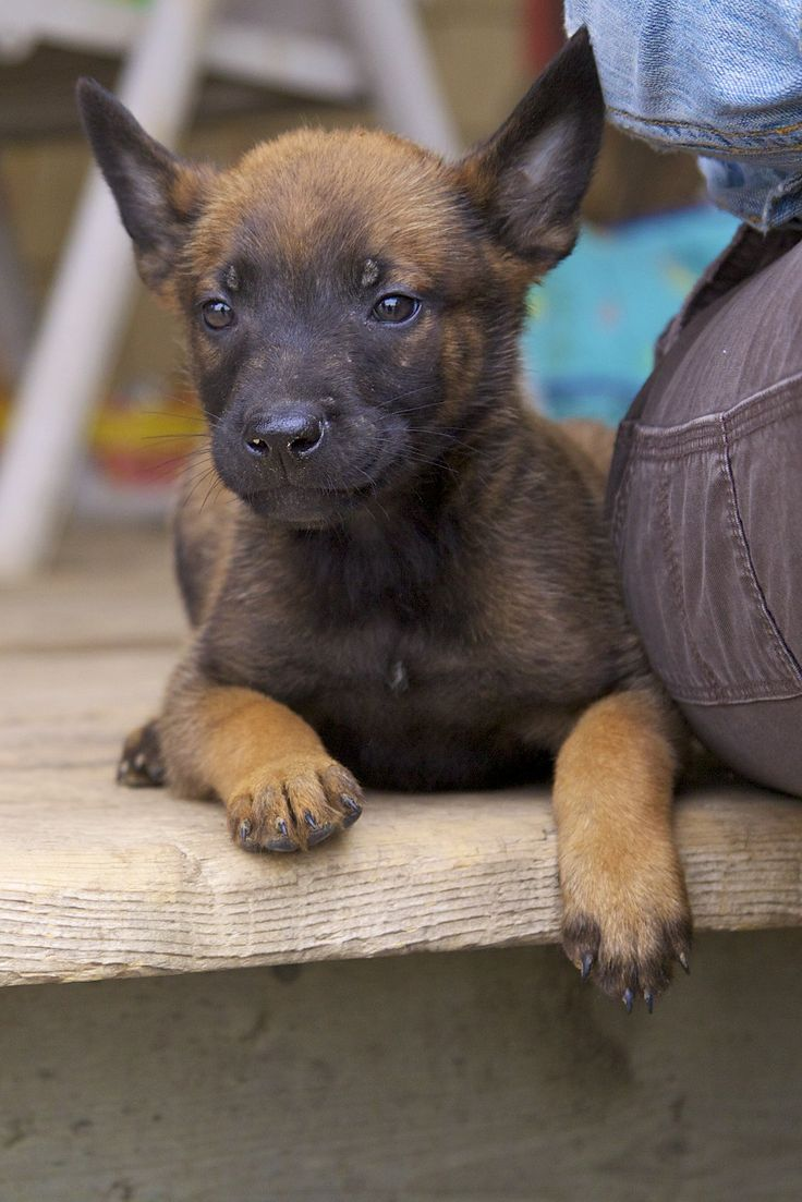 how to train a belgian malinois puppy