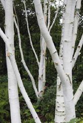 Birch Betula Jacquemontii - Tree