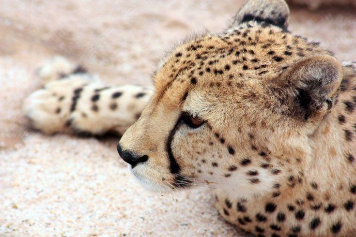 Lucruri incredibile despre felinele mari