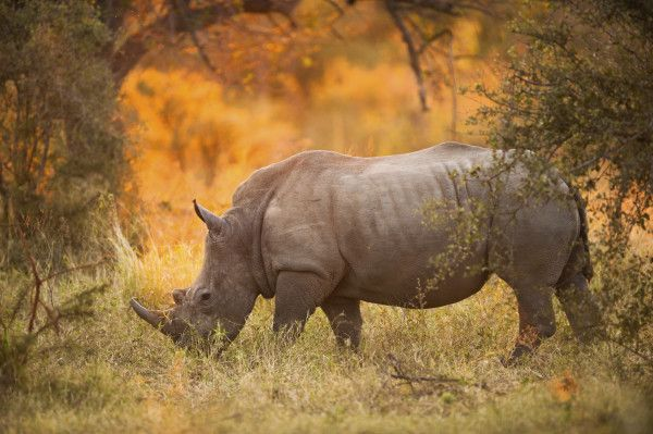 Rhino-Safari in Südafrika